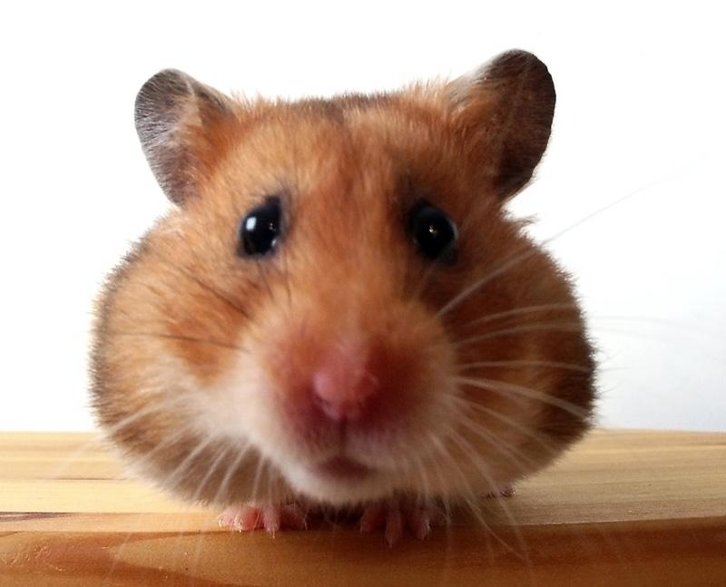 25.16 hamster 360695 4873